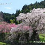 又兵衛桜が満開