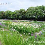 加茂荘花鳥園の花ショウブ