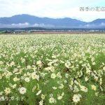 田光のコスモス畑