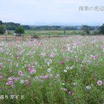滋賀県畜産技術振興センターのコスモス