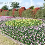 吉田公園のチューリップ