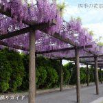 赤坂スポーツ公園の藤
