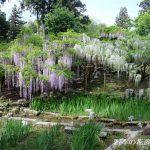 春日大社・萬葉植物園の藤園