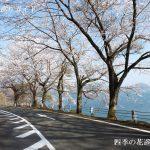 奥琵琶湖パークウェイの桜