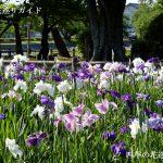 九華公園花菖蒲園