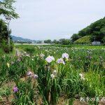 蓮華寺池公園の花しょうぶ