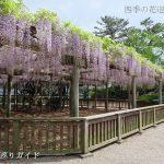 松坂城跡公園の藤棚