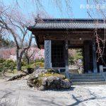 光前寺庭園の桜