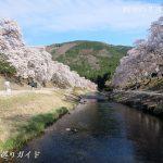うぐい川の千本桜
