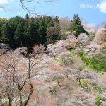 吉野山・中千本の桜
