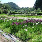 花の郷滝谷の花しょうぶ園