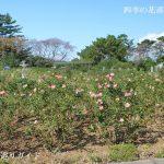 浜松フラワーパークのバラ